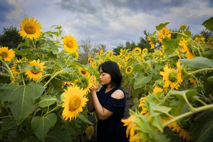 Taman Bunga Matahari Ayer Tawar