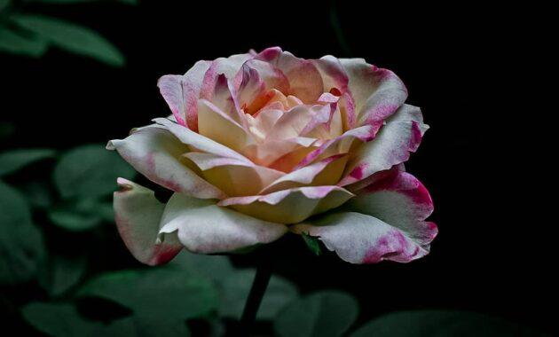 10 Gambar Bunga Tercantik Di Dunia Dan Maknanya Rainbow Roses Mawar Termahal Jejakpiknik Com